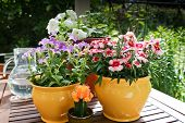 picture of petunia  - Spring flowers in pots - JPG