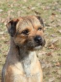 stock photo of border terrier  - The portrait of typical Border Terrier in the autumn garden - JPG