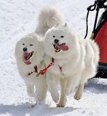 stock photo of sled dog  - Samoyed sled dog team running fast with tongue outside by winter day - JPG