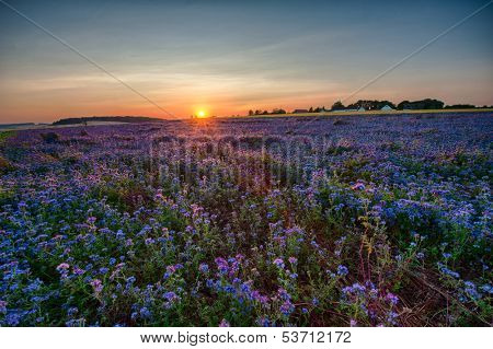 Field of blooming Lacy phacelia (Phacelia tanacetifolia) at sunset