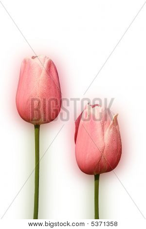 Pink Tulip  On White Background