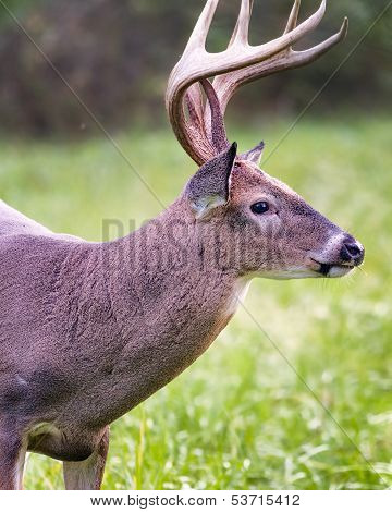White-tailed Buck Dining On Grass