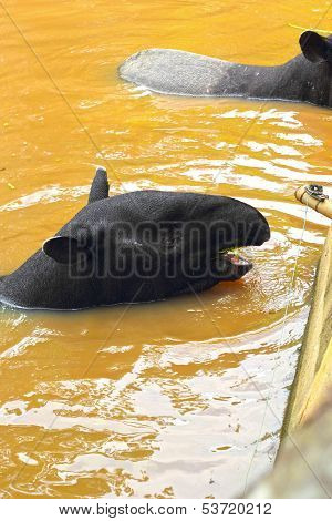 Tapir In The Lake