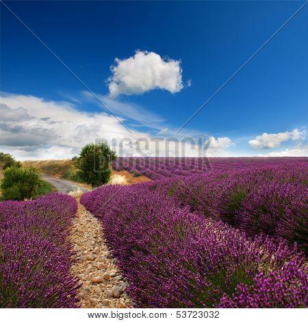 Beautiful image of lavender field