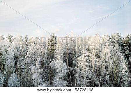 Hoary Forest