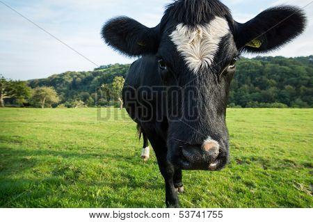 Single cow in field