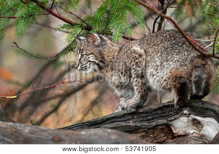 Bobcat (Lynx rufus) Looks Left Atop Log