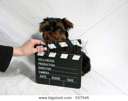 Hollywood Yorkie