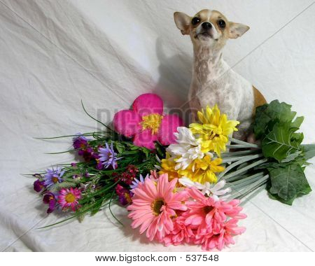 Chihuahua In The Flowers