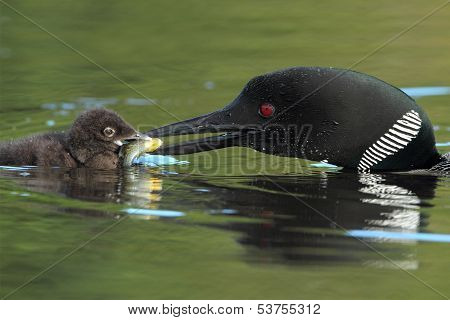 Common Loon Feeding A Sunfish To Its Young Chick