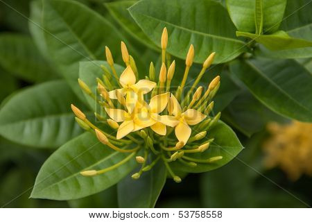Yellow Ixoras Flower