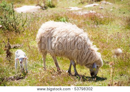 Mother sheep and baby lamb grazing in Menorca field