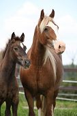 picture of mare foal  - Brown mare with long mane standing next to the foal on pasturage - JPG