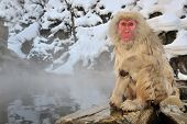 Japanese Macaque