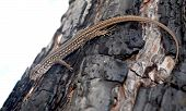 foto of afterburner  - Survived grey lizard on the afterburned tree - JPG