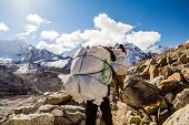 picture of porter  - Porter and Sherpa walking with big bag baggage luggage in Himalaya Mountains in Nepal - JPG