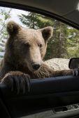 Постер, плакат: Дикий медведь на мои окна автомобиля