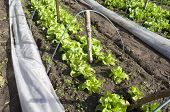 foto of non-toxic  - Lettuce and endive in a greenhouse in the organic vegetable garden Groentenhof in Leidschendam Netherlands - JPG