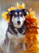 Dog In Yellow Autumn Leaves.