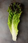 A single leaf of Red Leaf Lettuce on a metal cooking sheet. Vertical format.