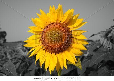 Huge Sunflower