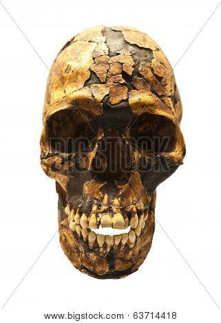 Fossil Skull Of Homo Sapiens
