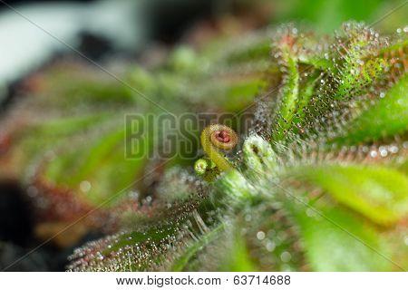 Drosera Aliciae Flower Stalk