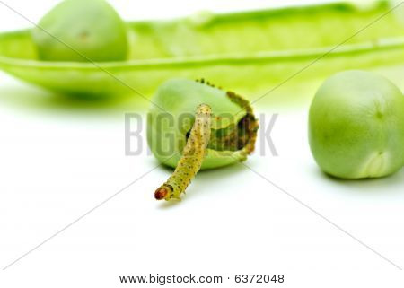 Worm Crawling From The Eaten Pea