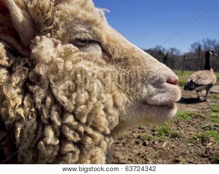 Sheep Profile