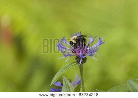 Bumble-bee On Flower