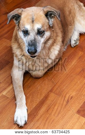 old lazy dog