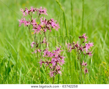Coronaria Flos-cuculi Flowers