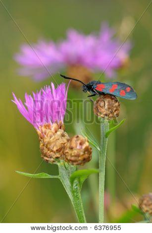 The Butterfly Zygaena Filipendulae