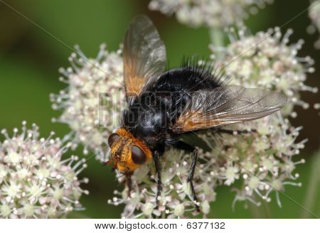 Large Black Fly On A Flower