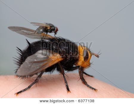 Two Flies On My Finger