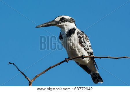 A Female Pied Kingfisher With Her Crest Flattened
