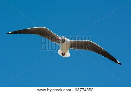 Grey-headed Gull Floating On The Wind