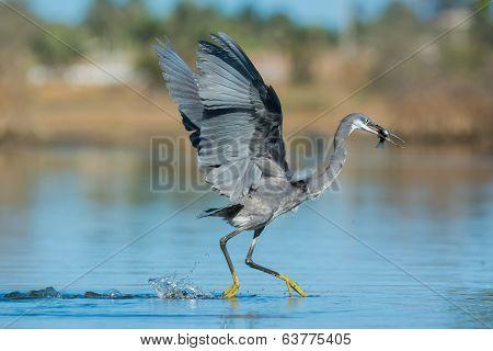 Western Reef Heron Dancing Away To Keep Its Fish Safe