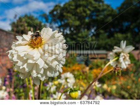Summer Garden With Bumble Bee On A White Chrysanthemum