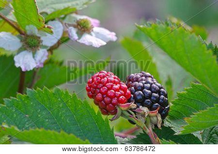 Blackberry Flower And Fruit