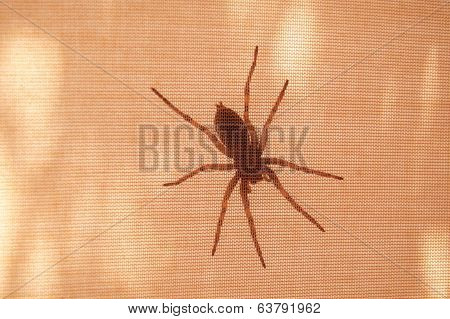 Spider On Inner Tent