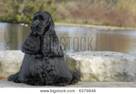 Cocker Spaniel Black At River
