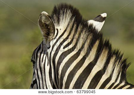 Zebra Neck And Mane