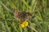 picture of dingy  - Dingy Skipper Butterfly - Erynnis tages