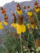 picture of xeriscape  - patch of yellow and red cone flowers - JPG