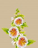 stock photo of hollyhock  - Hollyhock flowers - JPG