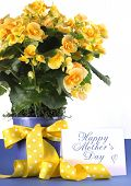 stock photo of begonias  - Happy Mothers Day beautiful yellow Begonia potted plant gift with yellow flowers and polka dot gift wrapping ribbon and gift card tag - JPG
