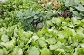 stock photo of leafy  - Young, fresh lettuces and leafy greens growing at a local garden centre, ready to be planted in the vegetable garden.