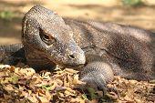 stock photo of komodo dragon  - Rare Komodo Dragon in Rinca Island Flores Indonesia - JPG