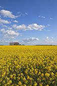 picture of rape-seed  - a bright yellow rape seed crop in full flower with trees and hedgerows under a blue cloudy sky in yorkshire - JPG